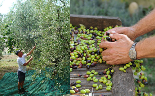 Harvesting and sorting olives by hand at Lavanda Blu olive grove.